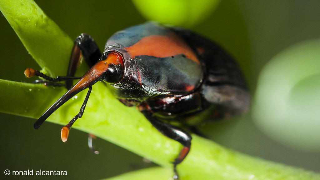 Red Palm Weevil   One of the most destructive insects in the