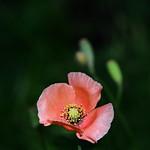 ナガミヒナゲシ Long-headed poppy