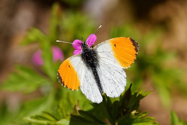 Anthocharis cardamines - Aurore mâle
