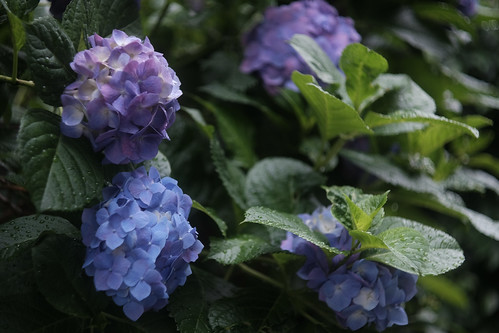 紫陽花 | by Typ250