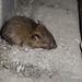 Flickr photo 'Brown Rat, Rattus norvegicus (Berkenhout, 1769)' by: Misenus1.