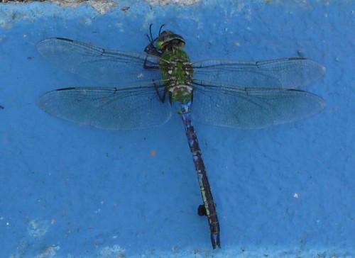 dragonfly birding missouri anax anaxjunius otterslough