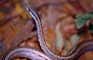 Common Big-eyed Snake (Mimophis mahfalensis) | Toliara, MADA… | Flickr