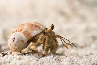 {unidentified} hermit crab - Ko Lipe / Thailand | by Rushen!