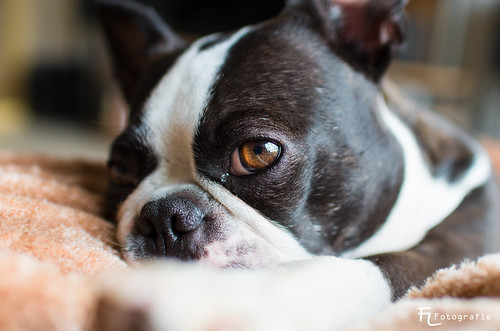 Boston Terrier Eye | by Silbersurfer