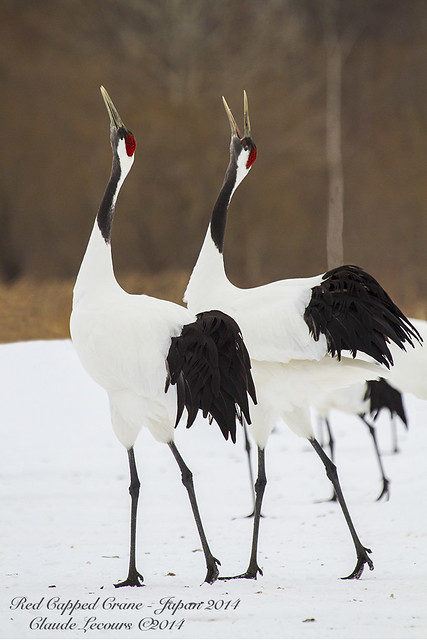 Red_Capped_Cranes_WEB_1630