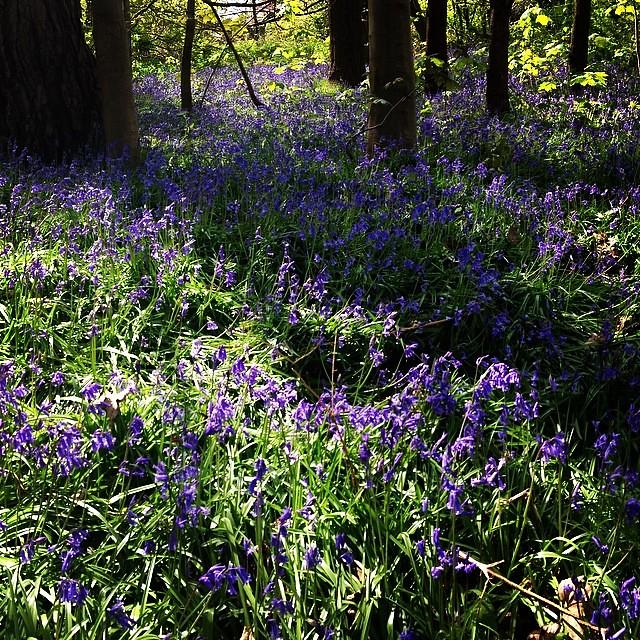 Bluebells in Reigate Heath