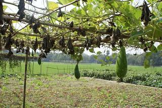Bangladeshi vegetables - Lau