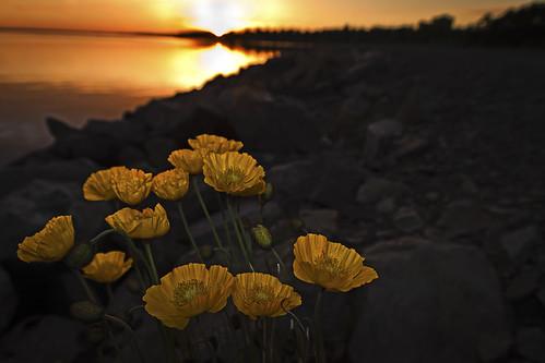 flowers sunset water yellow landscape rocks sweden bokeh flash shore poppies östersund storsjön lugnvik canoneos50d flashphtography magnuslögdberg