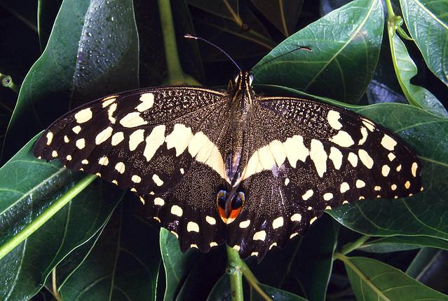 12. Butterfly - Bobiri Forest & Butterfly Sanctuary