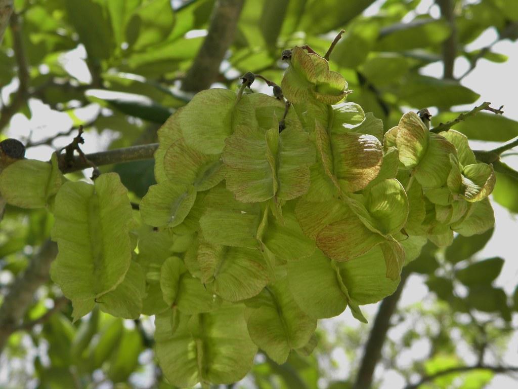 Piscidia piscipula seeds