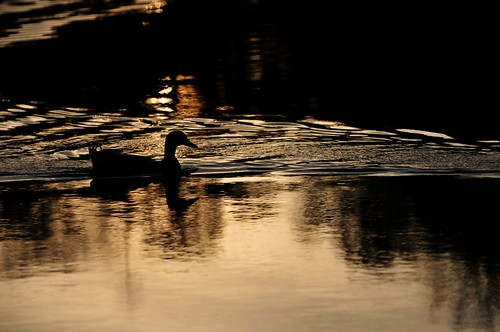 animals ducks sunset texas tomball