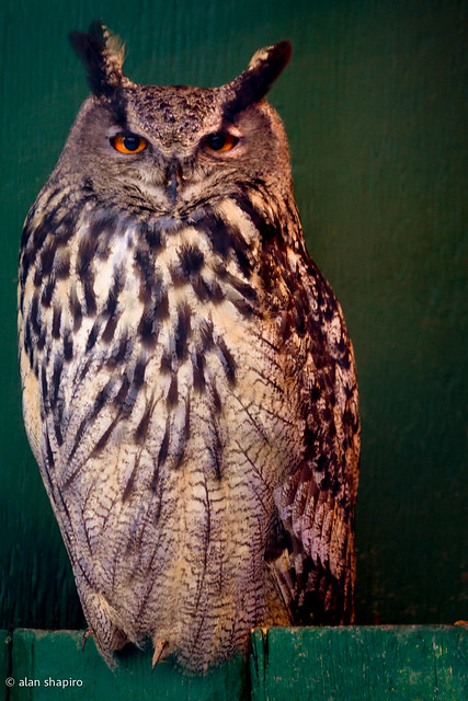 Method acting with a Eurasian Eagle Owl