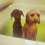 た、たしゅけてくらたいな姉とキョトン顔の妹 #犬#トイプードル #toypoodle #多頭飼い#お風呂#シャンプー