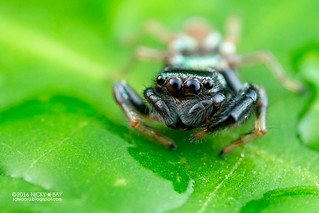 Jumping spider (Thiania sp.) - DSC_2318