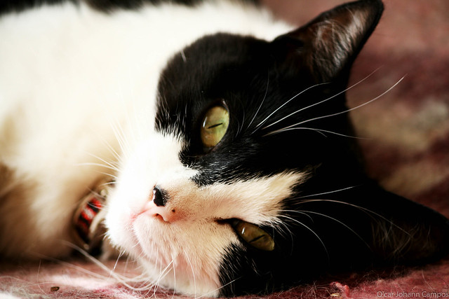 Gato - Cat