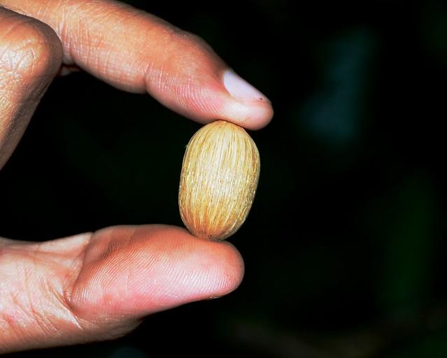 Gnetum ula seed covered with bristles_Gnetaceae_Tamhane, Ratnagiri_2013 08 30_c