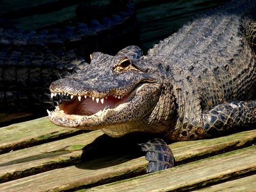 Gatorland, Orlando FL | by Rusty Clark ~ 100K Photos