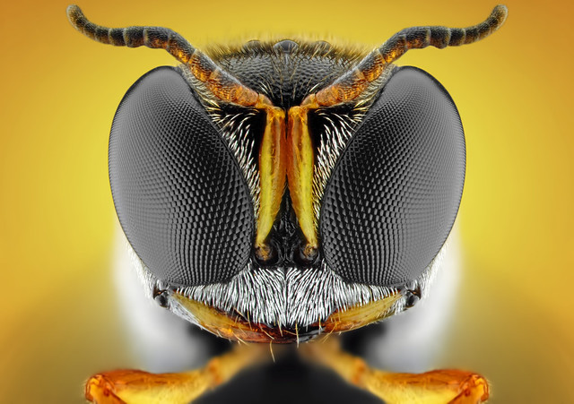 Square-Headed Wasp | Ectemnius sp. (Dahlbom, 1845)
