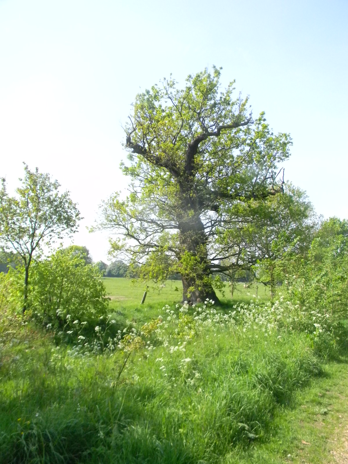 Tree with cow parsley Manningtree Circular