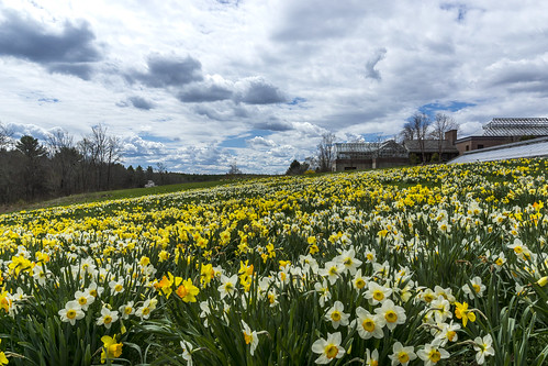 white green yellow ma day cloudy massachusetts daffodil botanicalgarden towerhill boylston flowergarden gardenstosee