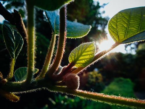 kiwileaves kiwiblätter sunrise sonnenaufgang pflanze sony qx10 plant kiwi