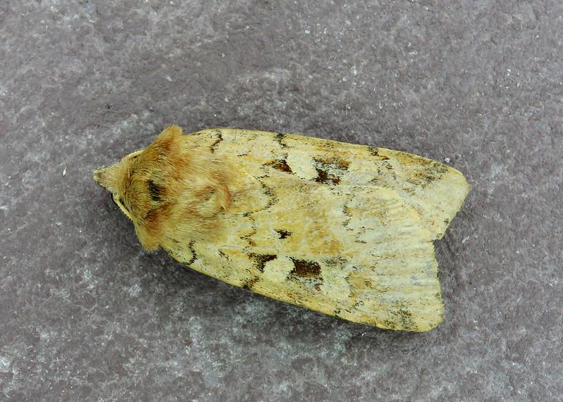 73.333 Ingrailed Clay - Diarsia mendica