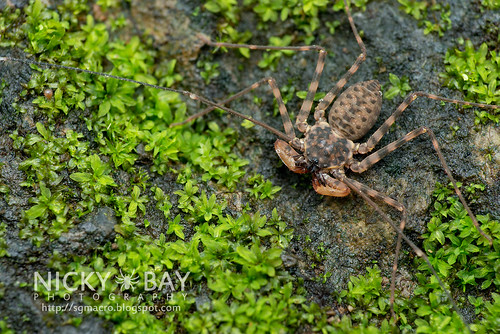 Taillless Whip Scorpion (Amblypygi) - DSC_2701 | by nickybay