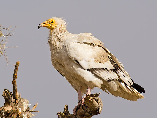 Egyptain Vulture