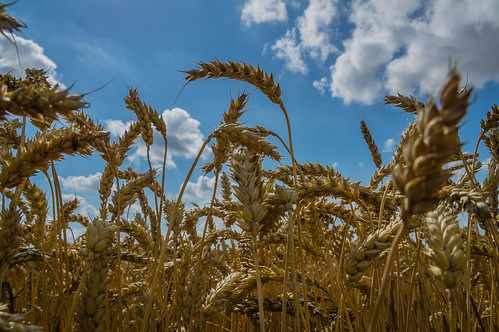 blue sky yellow clouds day sweden wheat harvest clear explore ripe skånecounty