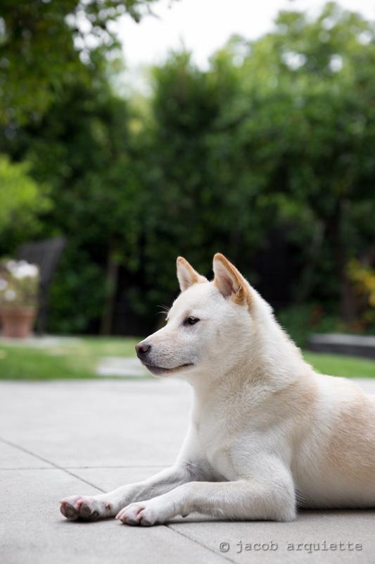 Cream Shiba Inu - Kenzo | So poised  | Jacob Arquiette | Flickr