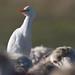 Flickr photo 'Bubulcus ibis  VTXB10-D113' by: Sarah Gregg Petriccione.