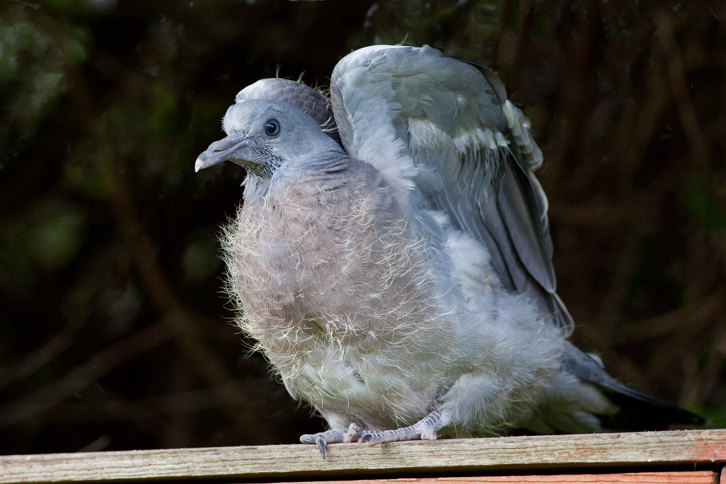 Baby Pigeon (Squab) | Baby pigeon or squab, taking it's ...