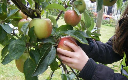 1st apple harvest