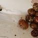 Harlequin ladybird (Harmonia axyridis) squatters
