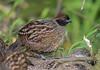Odontophorus atrifrons - Black-fronted Wood-Quail - Corcovado Carinegro - Perdiz Carinegra 01 by jjarango