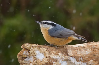 Red-breasted Nuthatch (Sitta canadensis) | by humanaaut