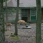 Caged deer