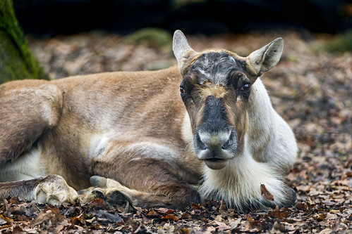 Yound reindeer female lying | by Tambako the Jaguar