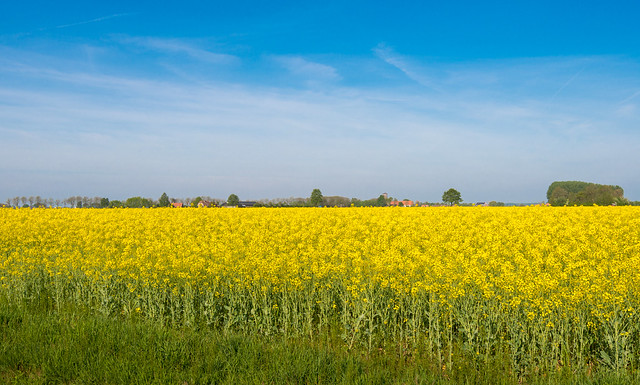 Yellow blooming rapeseed in springtime