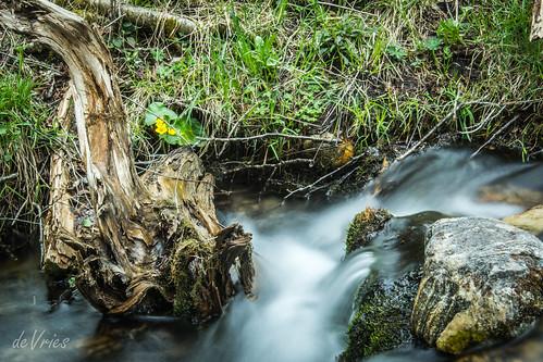 flower yellow mi river spring long exposure marsh flowing marigold fernridge sevenbridges marshmarigold kalkaska rapidriver may2016