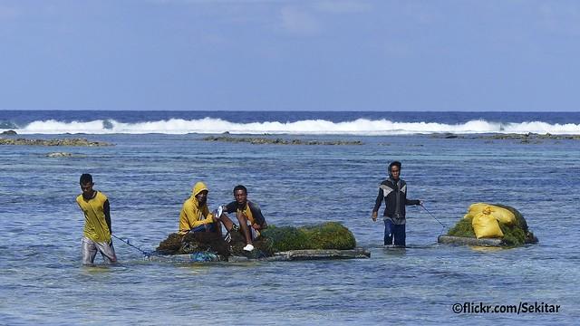 Sea weed harvest at Pantai Lobo Hede, Sawu Barat