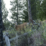 Mule Deer with Fawn