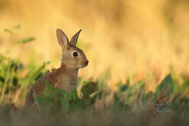 Lapin de garenne ( Oryctolagus cuniculus ) - Wild rabbit #1239