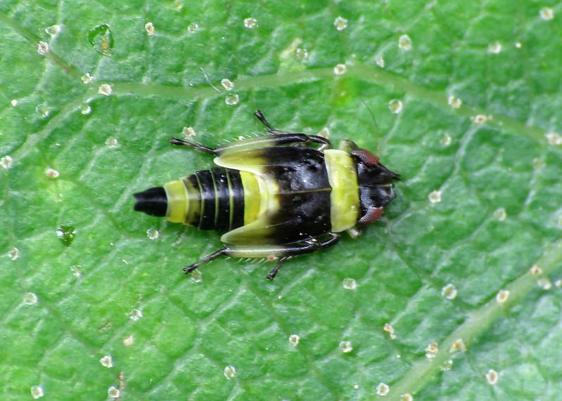 Eupterycyba jucunda