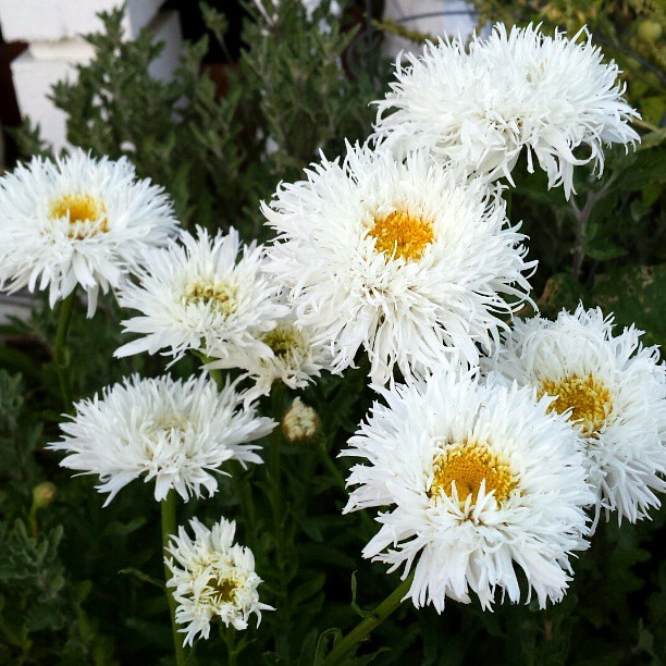 I really love this Spidery Shasta Daisy 'Aglaya' that I bought for my Mom last year.