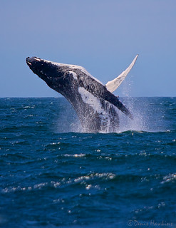 Whale breaching at Jervis Bay | by Denis Hawkins