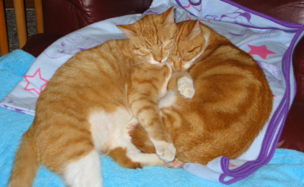 2 ginger cats in Illawong NSW Australia