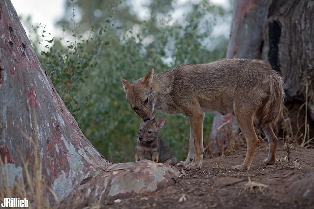 family - golden jackals, wilder Goldschakal, Canis aureus syriacus @ Tel Aviv, Israel 2016, June urban nature