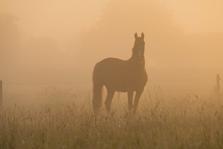 Horse in the Mist | by Infomastern